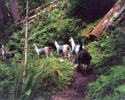 Lamas un alpaki - 2. foto