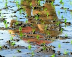 Rīsa lauki - 1. foto