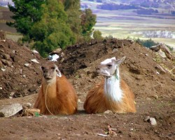 Lamas un alpaki - 3. foto