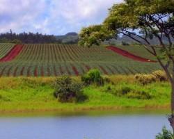 Ananāsu lauki - 2. foto