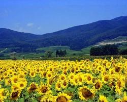 Saulespuķes - 3. foto