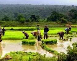 Rīsa lauki - 3. foto