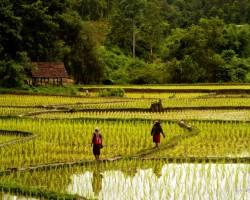 Rīsa lauki - 2. foto