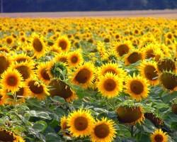 Saulespuķes - 2. foto