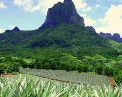 Ananāsu lauki - 3. foto