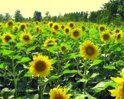 Saulespuķes - 1. foto