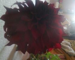 ... mana dārza ziedi