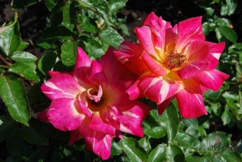 Augusts dārzā