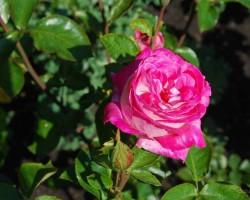 Augusts dārzā - 2. foto