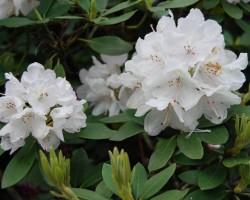 Rododendri zied - 1. foto