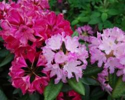 Rododendri zied - 2. foto