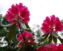 Rododendri zied - 3. foto