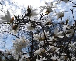 Magnolijas - 1. foto