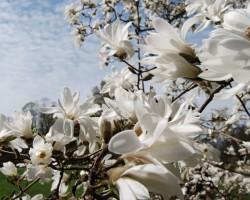 Magnolijas - 2. foto