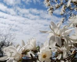 Magnolijas - 3. foto