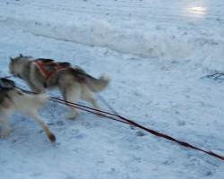 Suņu pajūgs - 3. foto