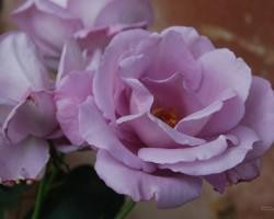 Augusts dārzā - 3. foto