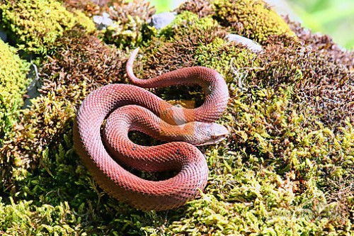 vipera - berus