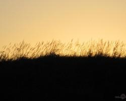 Smilgas saulrietā pie Skrundas.