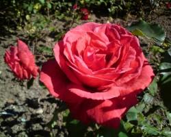Rokišķu pils dārza skaistākā roze